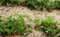 Подкормка клубники весной или чем лучше удобрять ягоду