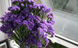 Статице — выращивание из семян в домашних условиях