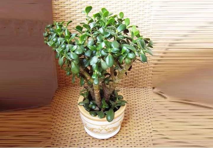 Живое дерево - лечебные свойства, рецепты