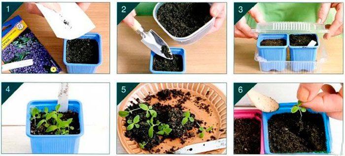Гелиотроп выращивание из семян в домашних условиях. Выращивание гелиотропа из семян