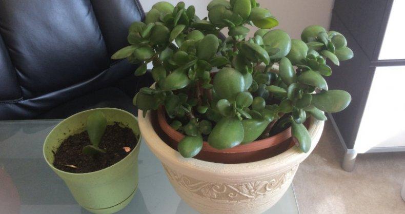 Когда пересаживать денежное дерево{q} Как правильно рассадить цветок{q}