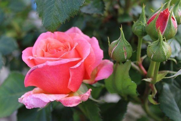 Вырастить розы из семян из китая