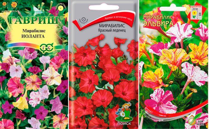Посадка и уход за мирабилисом в открытом грунте: когда сеять семена и высаживать клубни. Мирабилис