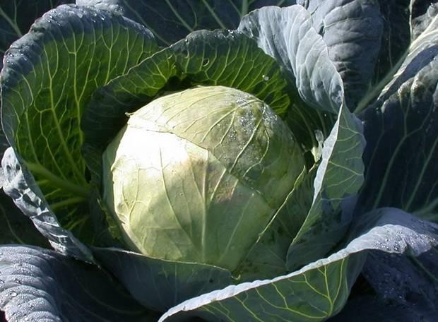 Как выбрать капусту для квашения. Правила выбора капусты для засолки и заквашивания. Видео про выбор вилков капусты