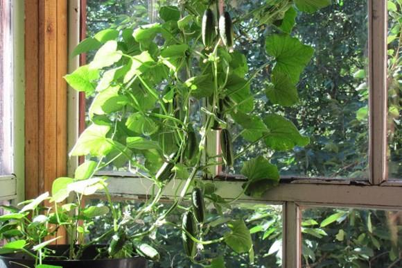 Огурцы на подоконнике зимой выращивание для начинающих
