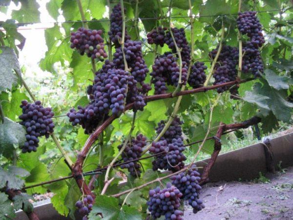 Виноград Юпитер описание сорта его характеристики особенности посадки и выращивания достоинства и недостатки