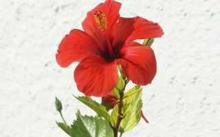 Гибискус: полезные свойства и вред цветка, выращивание и уход в домашних условиях