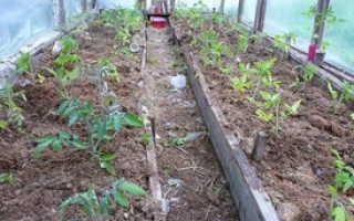 Подготовка и высадка рассады помидор в теплицу или парник по схеме посадке