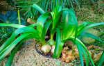 Как вырастить индийский лук: выращивание из семян
