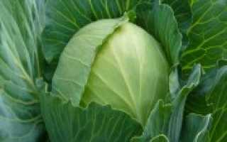 Обзор лучших сортов белокочанной капусты с фото и описанием