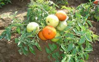 Томаты без пасынкования: 10 лучших сортов помидор для посадки в открытом грунте Подмосковья