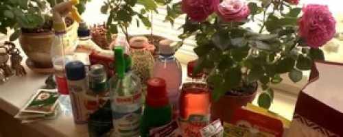 Удобрения для подкормки комнатных растений в домашних условиях