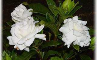 Гардения жасминовидная уход в домашних условиях фото: gardenia jasminoides как ухаживать