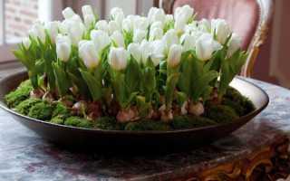 Тюльпаны в горшке: как вырастить из луковиц в домашних условиях, как посадить