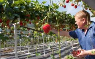 Выращивание клубники в трубах ПВХ горизонтально: описание