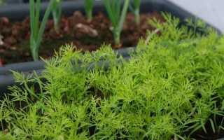 Укроп на подоконнике: как выращивать его зимой и летом, особенности подготовки семян и ухода за ростками