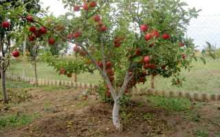 Что такое карликовый подвой для яблони: описание сортов, посадка, уход