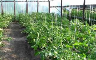 Низкорослые томаты для теплицы: обзор самых урожайных сортов, особенности выращивания