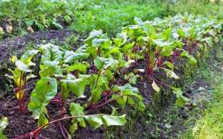 Посадка свеклы семенами в открытый грунт: как и когда правильно