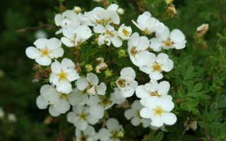 Лапчатка белая: размножение, выращивание и уход