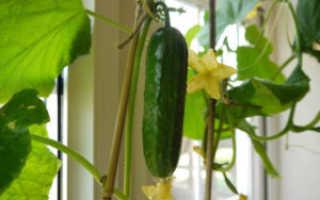 Выращивание огурцов зимой дома на подоконнике для начинающих: сорта для посева в квартире