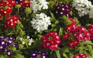 Вербена: когда сажать и как выращивать цветок