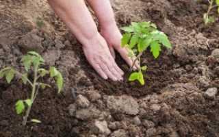 Когда сажать помидоры рассадой в открытый грунт