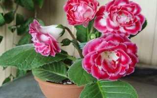 Цветок глоксиния домашняя уход и виды, Flowery-Blog
