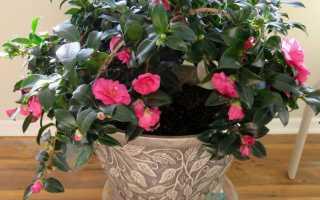 Камелия уход и выращивание в домашних условиях