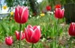 Тюльпаны уход после цветения