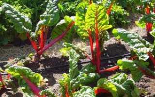 Как правильно вырастить мангольд: общая информация, виды, выращивание и сбор урожая