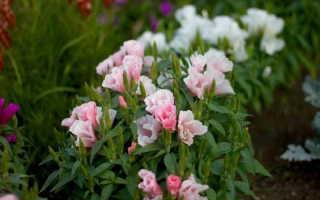 Годеция посадка и уход в открытом грунте Годеция фото цветов рассада выращивание из семян
