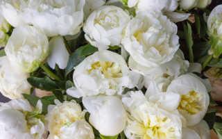 Белые пионы: сорта растения, уход за ними и размножение