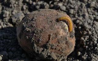 Проволочник в картошке — как избавиться народными средствами и препаратами
