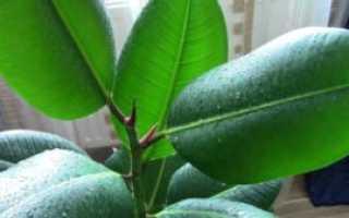 Как размножить и рассадить фикус в домашних условиях