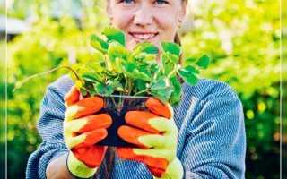 Посадка клубники осенью обеспечит урожаем уже в следующем году