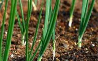 Как вырастить лук из семян, ВО САДУ И В ОГОРОДЕ
