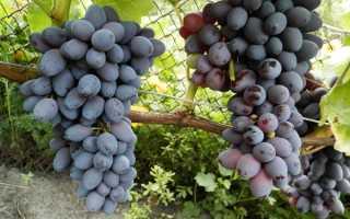 Виноград Юпитер: описание сорта, достоинства и недостатки кишмиша
