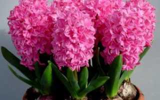 Гиацинт после цветения в горшке: что с ним делать?