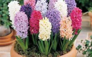 Гиацинт (HYACINTHUS) — Цветочный форум
