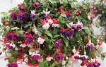 Фуксия — выращивание и уход в домашних условиях и саду, размножение, фото, видео