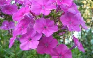 Посадка, выращивание и уход за флоксами — Садовые цветы и растения
