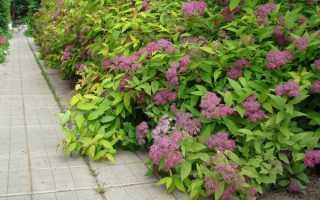 Cпирея бумальда — описание сорта с фото, посадка и уход