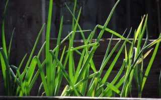 Лук на зелень из семян: выращивание, как сажать, сорта