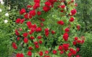 Зимостойкие сорта плетистых роз цветущие всё лето для различных регионов