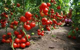 Какие сорта помидор самые урожайные для теплиц: описание фото, отзывы