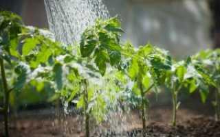 Особенности выращивания томатов: как часто поливать помидоры в открытом грунте