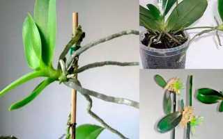 Как размножить орхидею в домашних условиях, различные способы и советы