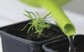 Кохия летний кипарис — выращивание из семян, посадка и уход