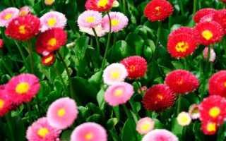 Маргаритки многолетние: посадка и уход, размножение